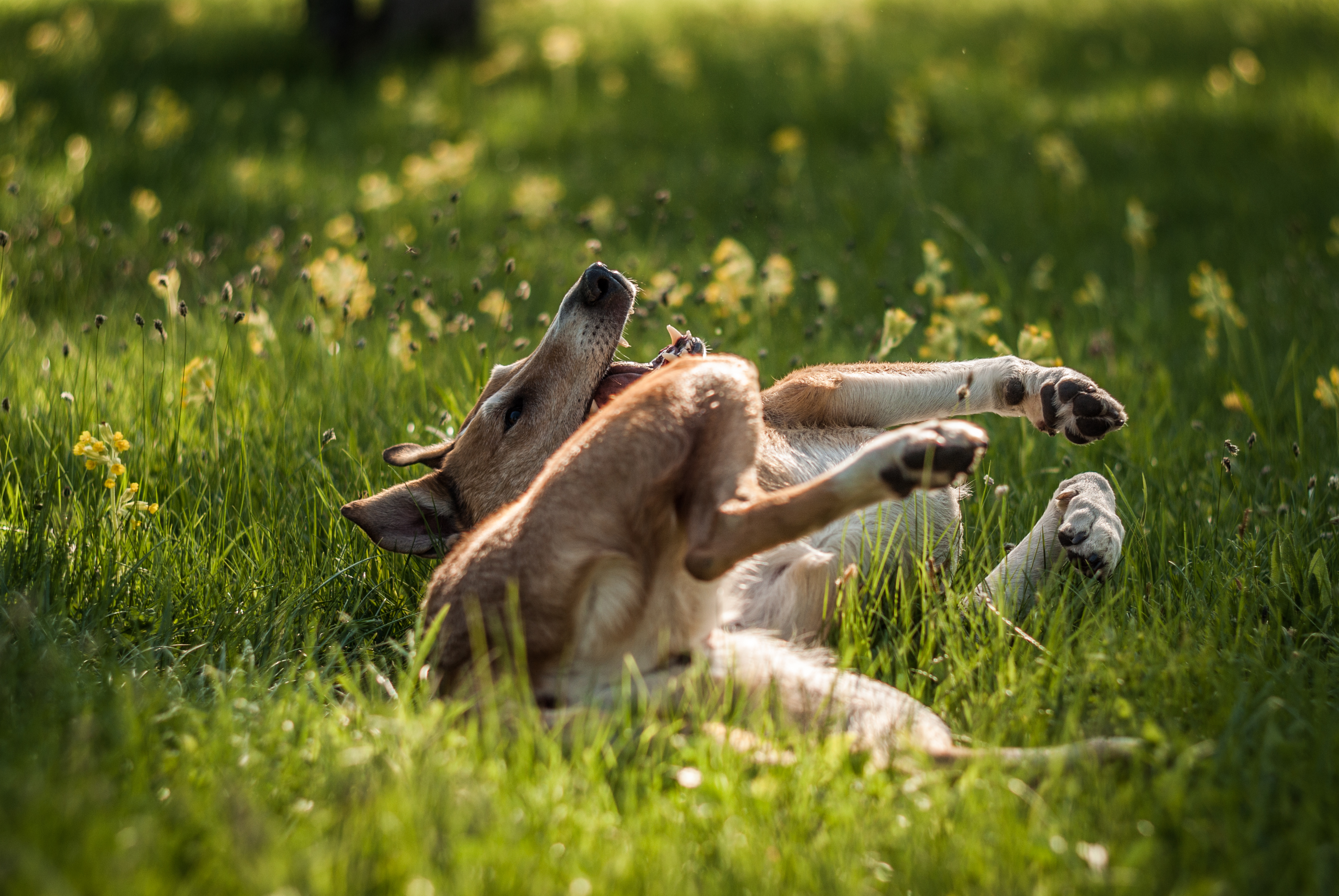 Smooth Collie rolling on the grass.