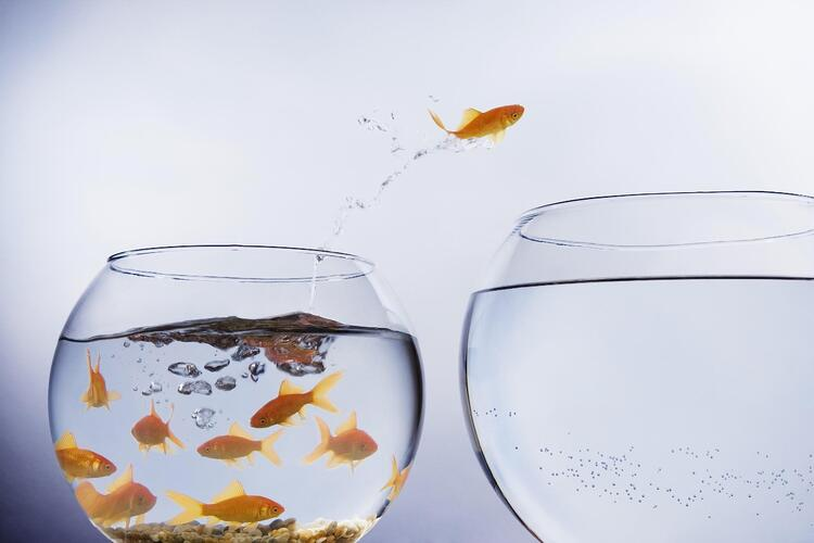 Goldfish jumping into a refreshed bowl